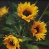 JD Sunflowers #  by Jimmy Dyer